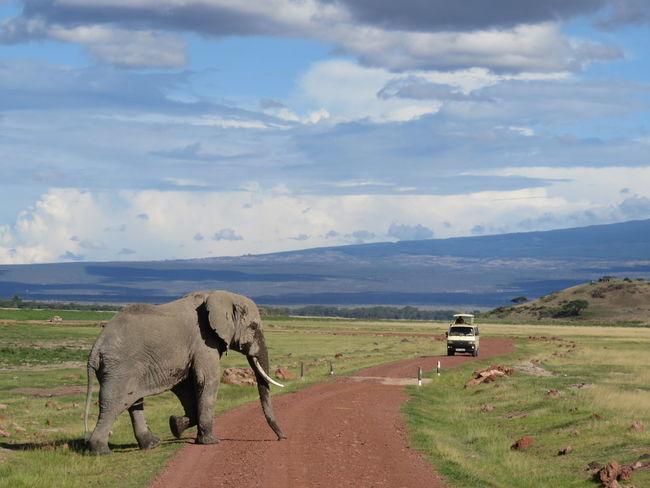 Mount Kilimanjaro Elephant Africa Safari Safari Animals Kenya Gaming Animals In The Wild Animal Wildlife Herbivorous African Safari Outdoors Mount Kilimanjaro Kilimanjaro Safaris wild elephant African Elephant