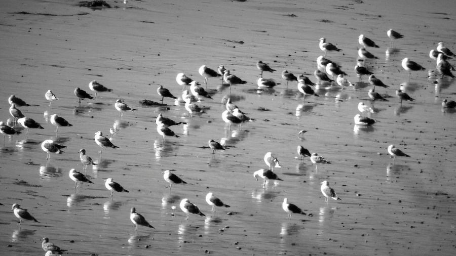 Light And Reflection 10/16 canon Freshness Day EyeEm Nature Lover EyeEm Best Shots Amazing Travel Check This Out EyeEmBestPics EyeEm Masterclass Archival Idyllic Animal Wildlife Beauty In Nature Flock Of Birds Animal Themes Animals In The Wild Nature Sand Bird Large Group Of Animals Beach Carlsbad California EyeEm Best Shots - Black + White