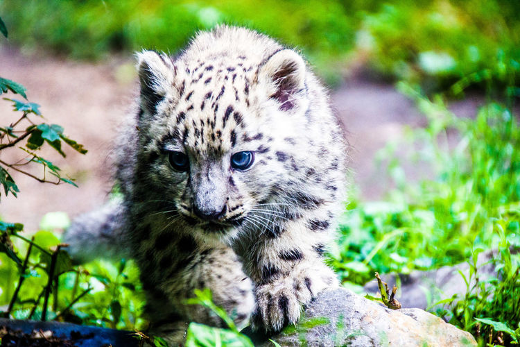 Snow leopard cub on rock