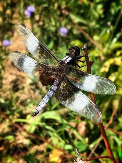 Libellula luctuosa, a.k.a. 'Widow Skimmer' (male) Odanata Libellula Luctuosa Widow Skimmer Dragonfly One Insect Nature Photography Outdoor Photography High Angle View Close-up Insect Invertebrate Focus On Foreground Close-up Dragonfly Nature No People Outdoors Beauty In Nature