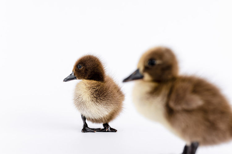 Close-up of ducklings on white background
