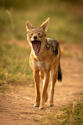 Black-backed jackal yawning on land