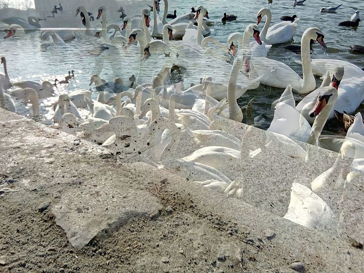 Artphotography Ducks Swans On The Lake Swans Peace Tranquility Beauty In Nature High Angle View Sunlight Nature Outdoors Water Birds
