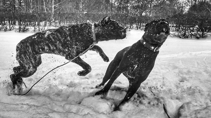 Winter sports. Pet Dog Dogs DogLove Doglover Pets Pet Love Pet Photography  Canecorsolovers Canecorso  Cane Corso Canecorsoitaliano Black And White Photography Black & White Black And White BlackandwhiteBlack