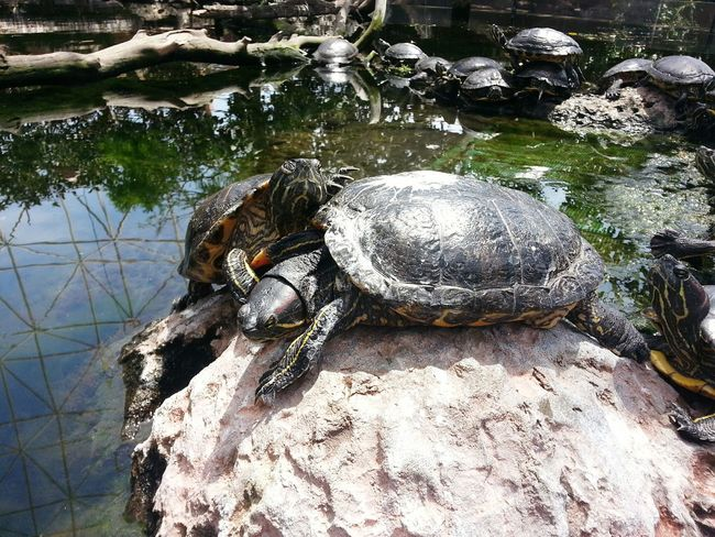 Time to sunbath Water High Angle View Tortoise Tortoise Shell Turtle Turtles Turtles In The Sun Amphibian Water Reflection Oceanographic Valencia, Spain No People Day Nature Outdoors Close-up