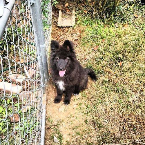 Fenrir the Wolf Hybrid puppy, back home in Atlanta. Fenrir Wolf Wolfhybrid Puppy Dogsofinstagram Puppies