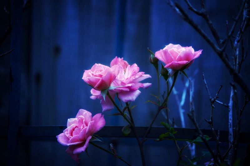 EyeEm Best Shots EyeEm Nature Lover EyeEmBestPics EyeEm Best Shots - Nature Beauty In Nature Wonders Of Nature Roses Flower Head Flower Pink Color Peony  Petal Close-up Plant Plant Life Pale Pink Blossom Flowering Plant