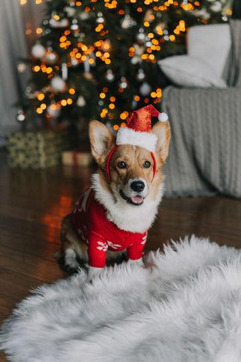 Christmas portrait of a dog corgi
