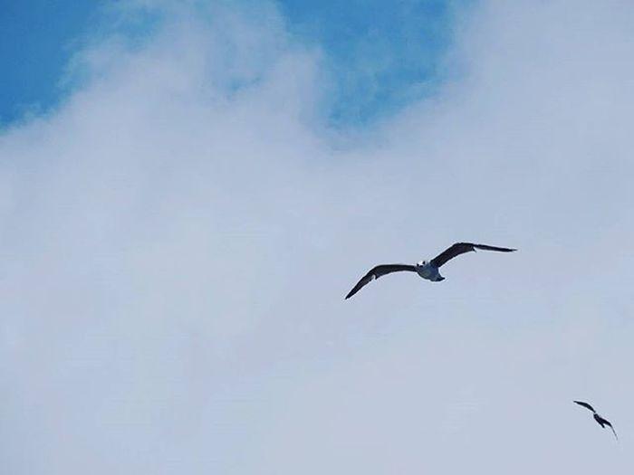 48 Seagull