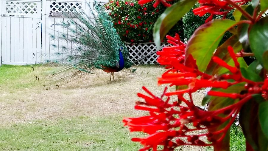 A scene to cherish with photo 📸 and eyes 👀 Growth Red Outdoors Plant Day Nature No People Green Color Flower Beauty In Nature Close-up FloridaDiaries EyeEmNewHere PeacockDance Peacock Feather Peacock Multi Colored Freshness
