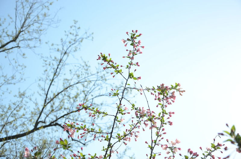 Low Angle View Of Cherry Trees Against Clear Sky