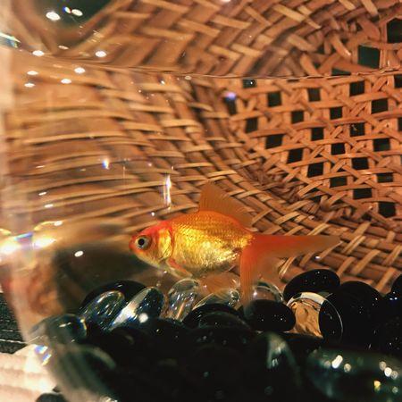 Fish Indoors  Animal Themes No People Close-up Illuminated GoldFish! Goldfish In Water Goldfish Goldfisch Goldfischglas Goldfisch Guppy Aquarium Aquarium Life Aquarium Photography Aquariumfish Aquarium! Aquarium, Fish,