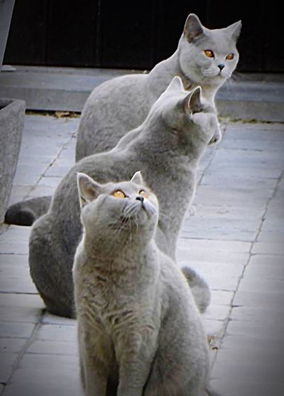 Day No People Animal Themes Pets British Shorthair Outdoors