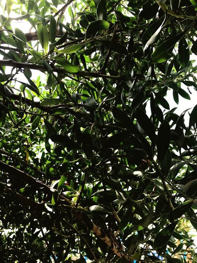 🌿 Growth Tree Nature Green Low Angle View Leaf Outdoors Beauty In Nature IPhone Photography Auntumn Mornings