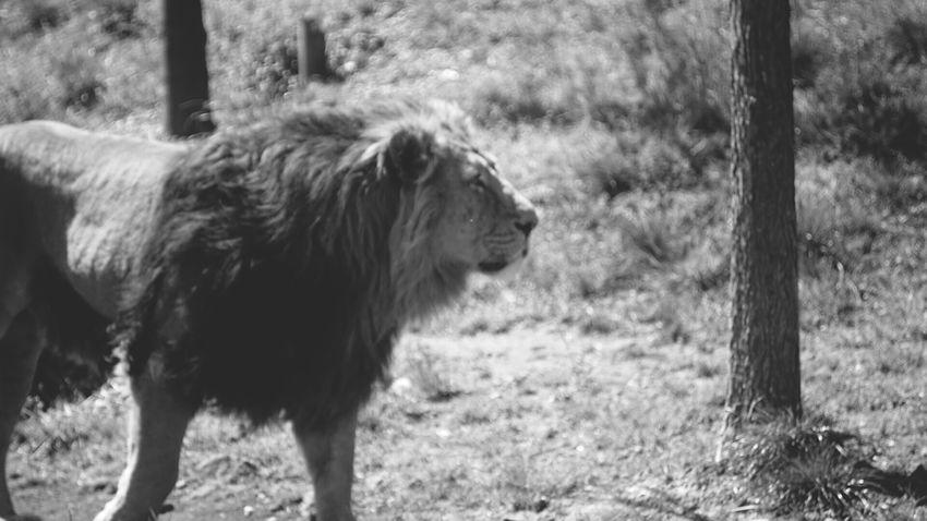 Zurich Zoo His Majesty... Lion