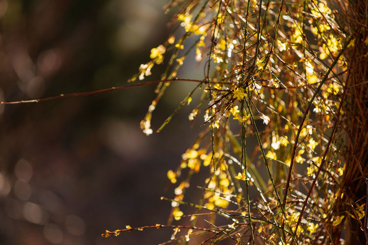 yellow plant with small blossoms with backlight Flower Flowering Plant Fragility Freshness Vulnerability  Plant Beauty In Nature Growth Close-up Nature No People Spring Backlight Tree Branch Focus On Foreground Outdoors Tranquility Selective Focus Day Sunlight Twig Springtime