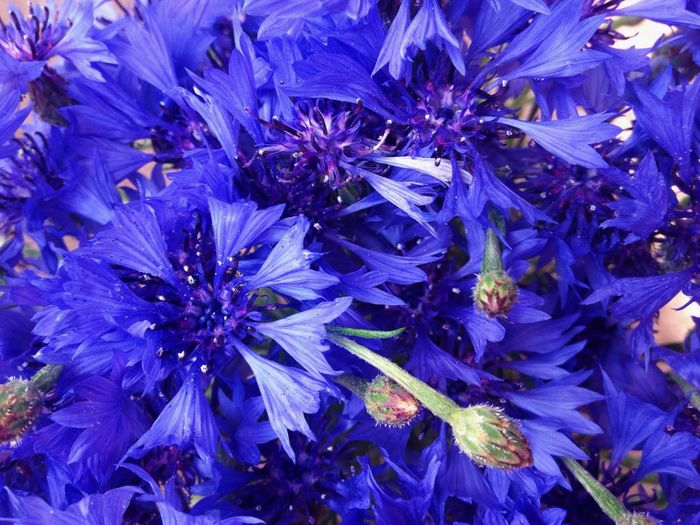 Royal Blue 💙 Flower Fragility Purple Nature Growth Beauty In Nature Full Frame Close-up No People Flower Head Backgrounds Freshness Outdoors Day Flowers Cornflower Royal Blue  Blue Deep Blue Tenderness Love Bouquet VSCO Vscocam Vsco Nature