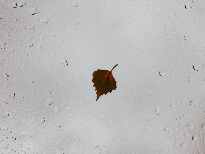Close-up of wet red leaf on snow
