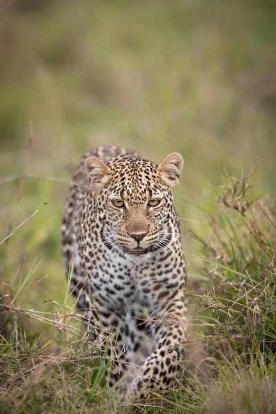 Africa Angry Animal Animal Themes Animals In The Wild Animals In The Wild Eyes Headon Kenya Leopard Mammal Mammals Masai Mara Nature Nature No People Outdoors Safari Safari Animals Spots Wildlife