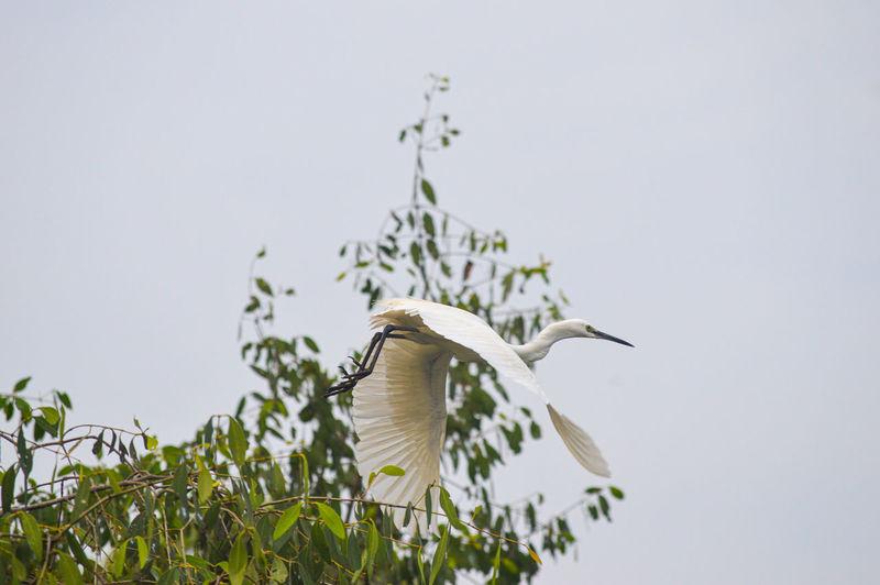 Little egret flying