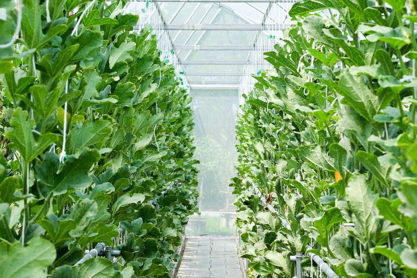 Agriculture Close-up Day Food And Drink Freshness Genetic Modification Green Color Greenhouse Growth Healthy Eating Horticulture In A Row Indoors  Leaf Lettuce Nature No People Plant Plant Nursery Science Scientific Experiment Vegetable