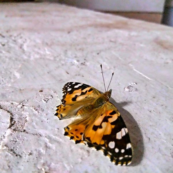 Butterfly Butterfly - Insect One Animal Insect Animals In The Wild Animal Themes Animal Wildlife Nature No People Animal Markings Close-up Beauty In Nature Outdoors Day Perching EyeEm Selects