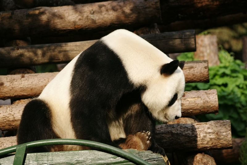 Low angle view of panda sitting on log stack