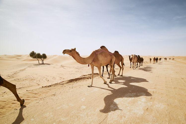 Herd of camels walking on sand road against sand dunes in desert landscape.