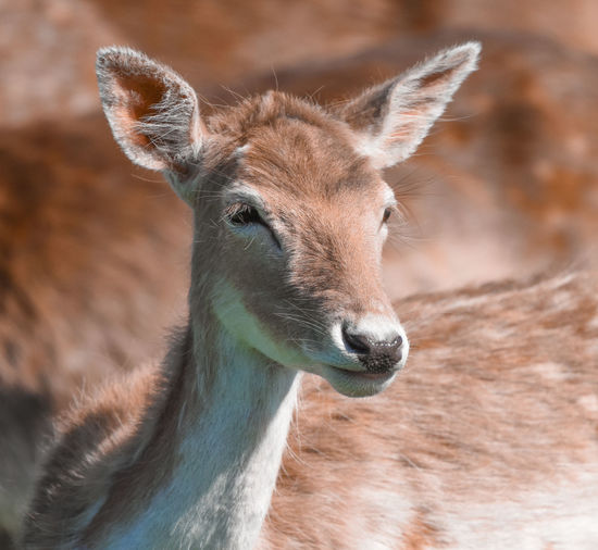 EyeEm Nature Lover Animal Animal Body Part Animal Head  Animal Neck Animal Themes Animal Wildlife Animals In The Wild Close-up Day Deer Fawn Focus On Foreground Herbivorous Mammal No People One Animal Outdoors Portrait Vertebrate Young Animal