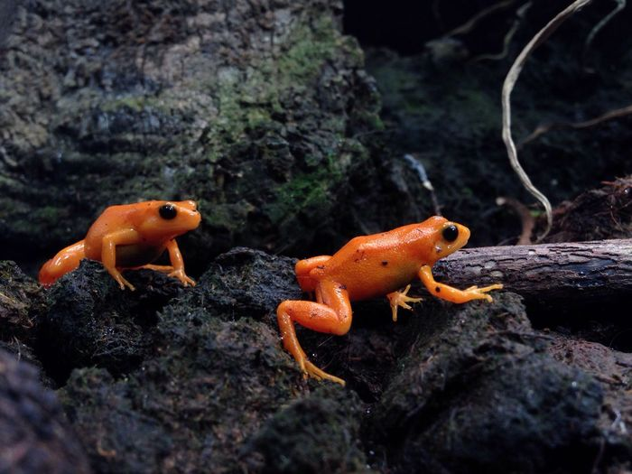 Frogs Frog Orange Forest Madagascar