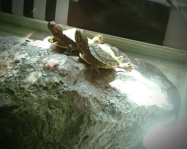 Turtle on the right, Dim Dim is very sick. My birthday wish is for him to get better...please make it????