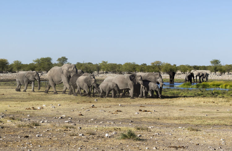 Namibia African Elephant Animal Themes Beauty In Nature Clear Sky Day Elephant Etosha Etosha National Park Field Grass Grazing Group Of Elephants Landscape Large Group Of Animals Livestock Mammal Nature No People Outdoors Safari Animals Sky Togetherness Tree