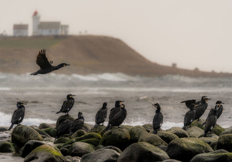 Fish, here I come Animal Wildlife Animal Animal Themes Animals In The Wild Group Of Animals Bird Large Group Of Animals Sky Nature No People Day Water Rock Outdoors Great Cormorant Flying Obrestad Lighthouse