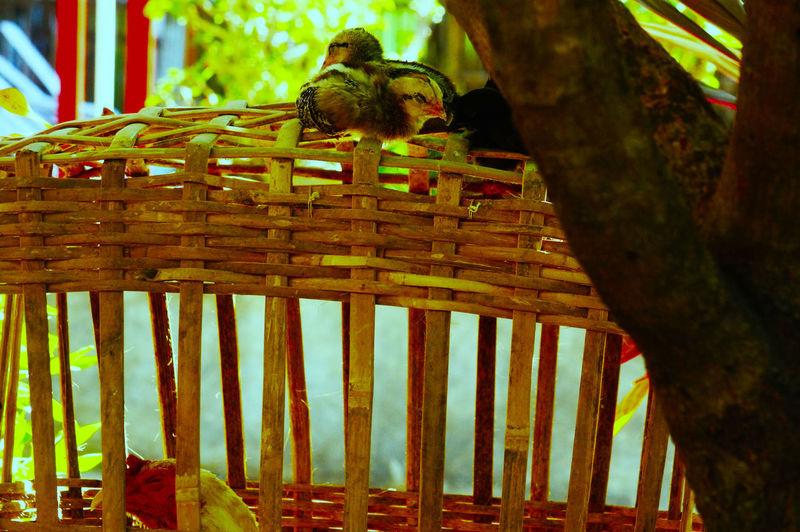 chicks Animal
