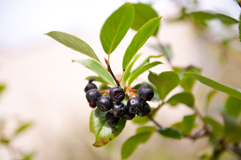Ripe aronia black fruits sag on twig and green leaves of plant, photo taken in Poland, horizontal orientation, nobody. Acrid Aronia Aronia Berries Aroniaberries Chokeberries Chokeberry Edible  Food Fruit Fruiting Tree Fruits Growing Hanging Leaf Nature No People Plant Shrub Sour Twig