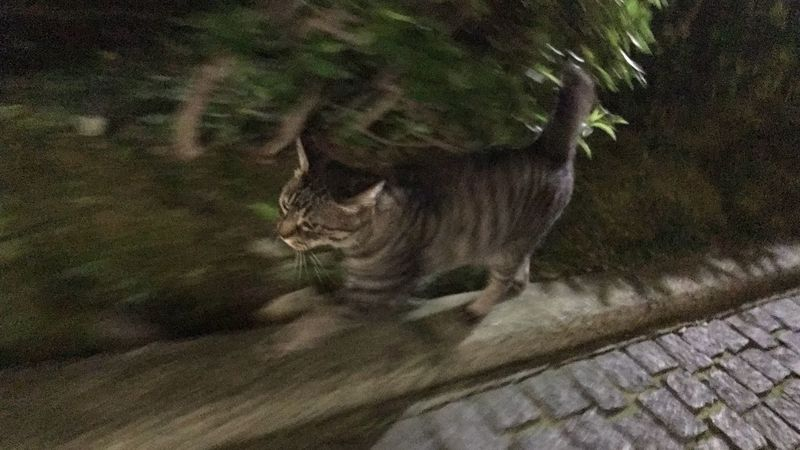 Stray Cat 野良猫 夜ねこ キジトラ 走り猫