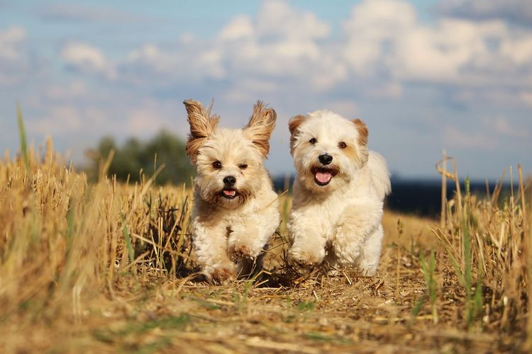 two little cute dogs in a stubble field Lying Running Day Dog Harmonic Havanese Landscape Landwirtschaft Liegender Hund Maltese Mixed Nature Outdoors Pair Pets Portrait Rennen Sky Stoppelfeld Stubble Stubble Field Summer Togetherness Zwei