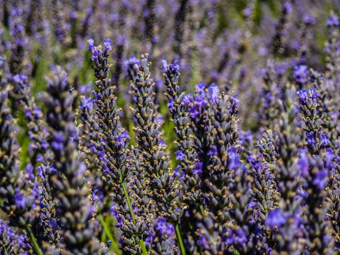 Agriculture Beauty In Nature Blooming Close-up Day Field Flower Fragility Freshness Growth Lavender Lavender Colored Nature No People Outdoors Plant Purple Selective Focus