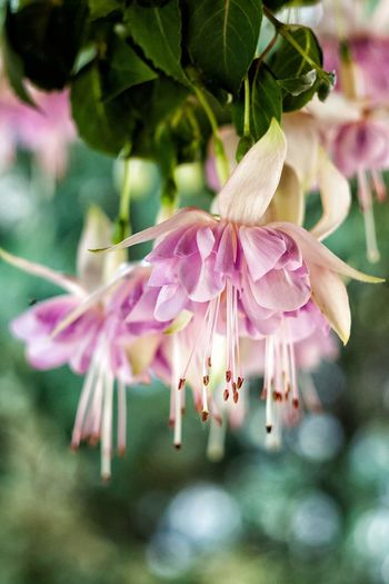 Flovers Helios 44-2 Fuchsia Nature Nature_collection Nature Photography Naturelovers Home Sweet Garden Garden Garden Photography First Eyeem Photo