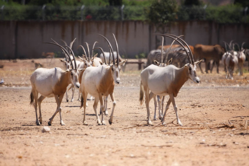 Oyrx Animal Antelope Day Field Focus On Foreground Grass Herbivorous Landscape Livestock Mammal Medium Group Of Animals Nature No People Oryx Gazella Outdoors Oyrx Rural Scene Safari Safari Animals Sahara Desert Selective Focus Thin Horns Zoo