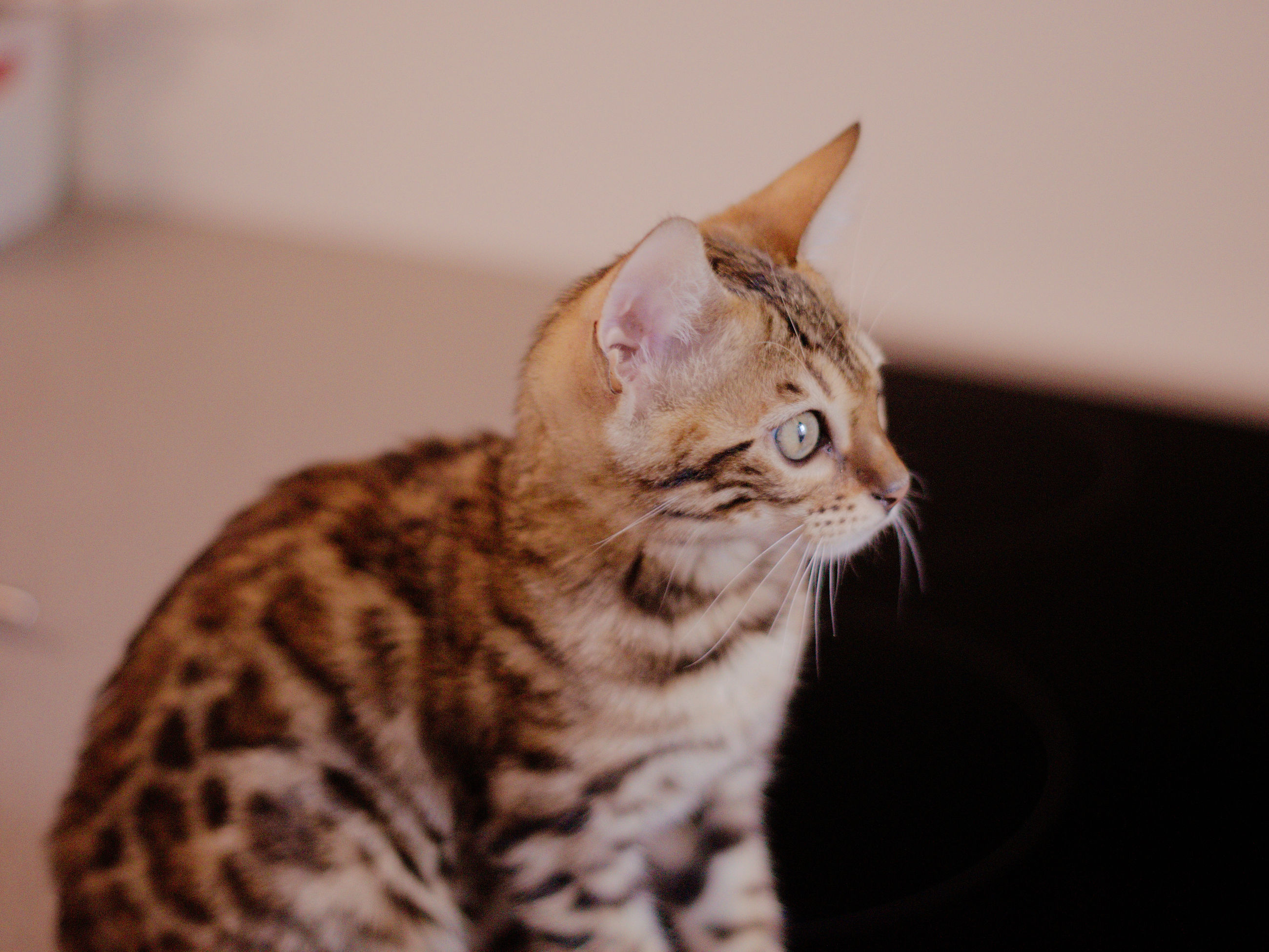 cat, pet, animal, animal themes, mammal, domestic cat, domestic animals, feline, one animal, whiskers, indoors, small to medium-sized cats, felidae, no people, carnivore, close-up, looking, tabby, focus on foreground, looking away, sitting