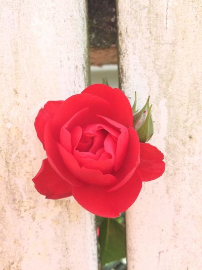 Love Breaks Through Nature On Your Doorstep Lifeisbeautiful Nature Photography Nature_collection Naturelover Fenced In Nature Rose Petals In Bloom Single Rose