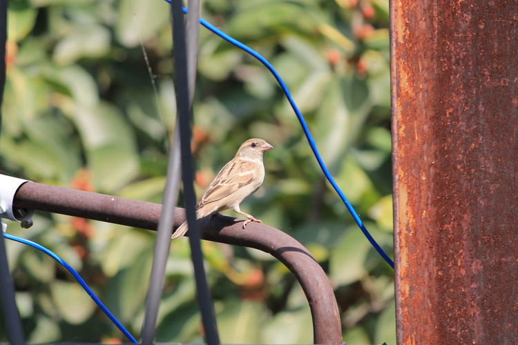 Sparrow Perching On Metal