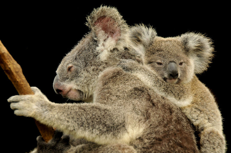 Close-up of koalas