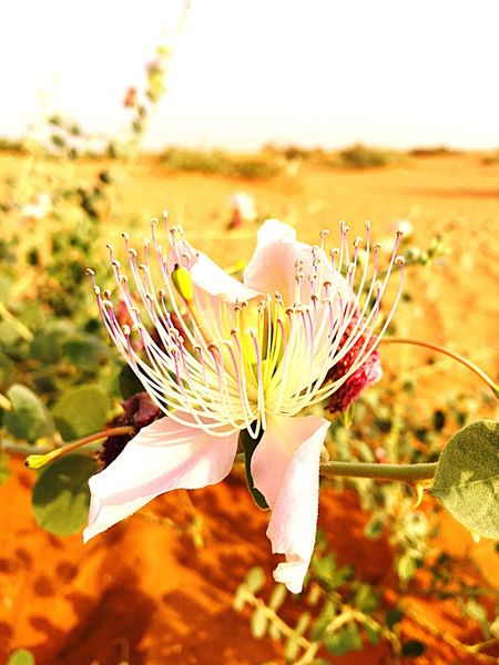 Flower Flowers Nature Freshness Growth Fragility Beauty In Nature Close-up Focus On Foreground Outdoors Petal Plant Sunlight Day Springtime Blossom No People Field Pistil PLUR Desert Flowers طبيعة نباتات برية جمال ورود