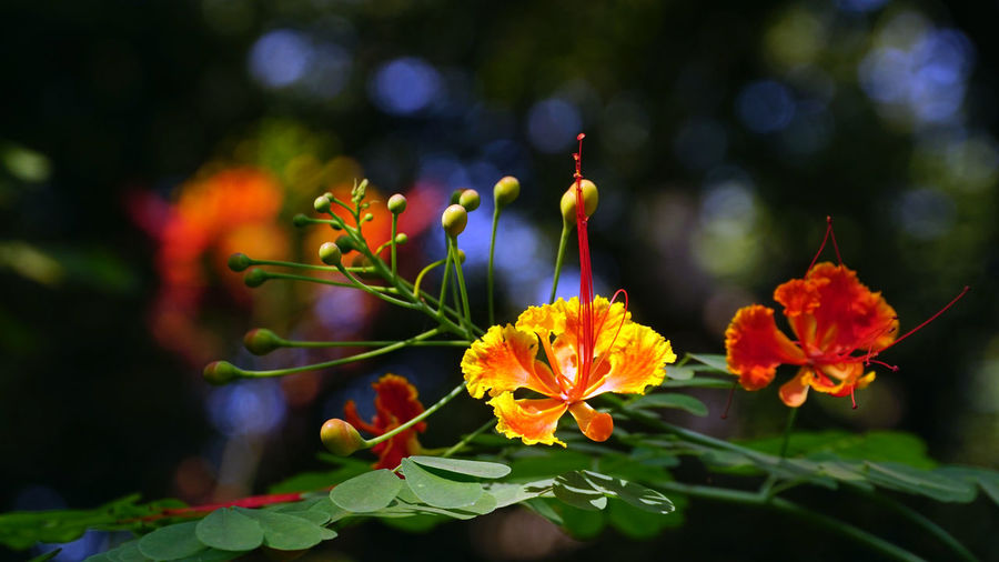 Flower Flowering Plant Plant Growth Vulnerability  Fragility Beauty In Nature Freshness Close-up Petal Inflorescence Flower Head Nature Selective Focus Focus On Foreground Day Plant Part Leaf Orange Color No People Outdoors Pollen