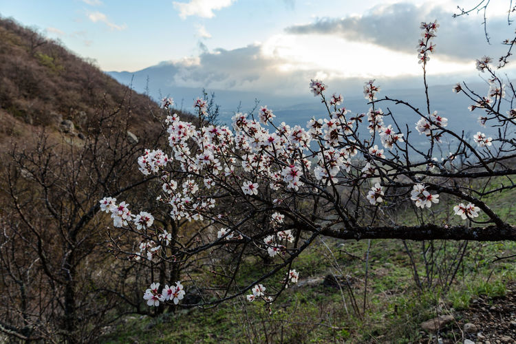 Plant Flowering Plant Flower Tree Beauty In Nature Freshness Nature Sky Growth Fragility Springtime Blossom Day Cloud - Sky Vulnerability  Cherry Blossom Pink Color Branch No People Fruit Tree Outdoors Cherry Tree