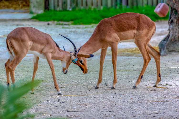 Animal Themes Animal Group Of Animals Mammal Domestic Animals Vertebrate Land Animal Wildlife No People Two Animals Brown Day Standing Nature Animals In The Wild Grass Herbivorous Deer Domestic