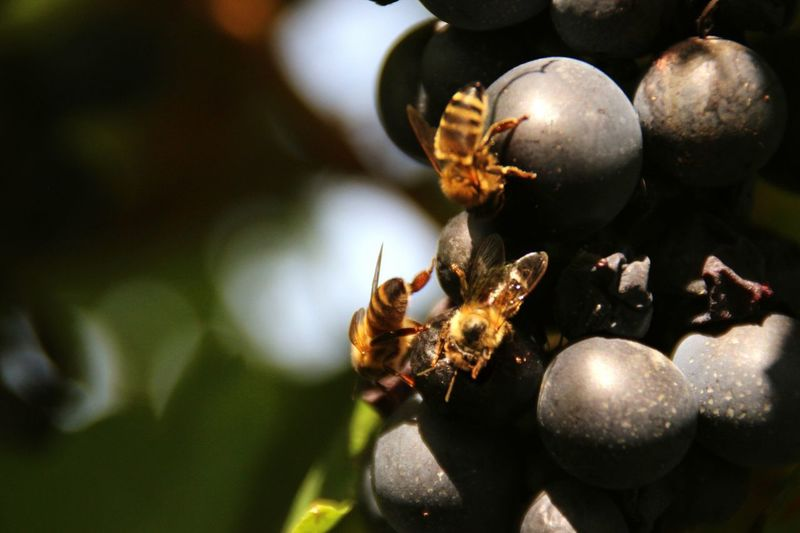 Close-up of honey bees on black grapes