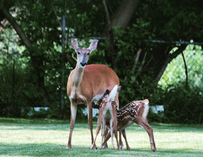 Doe nursing her baby fawn in suburban backyard Animal Themes Deer Mammal Young Animal Day Animals In The Wild Tree Focus On Foreground Animal Wildlife Looking At Camera Outdoors Portrait Nature No People Standing Grass Deer Wildlife Fawn